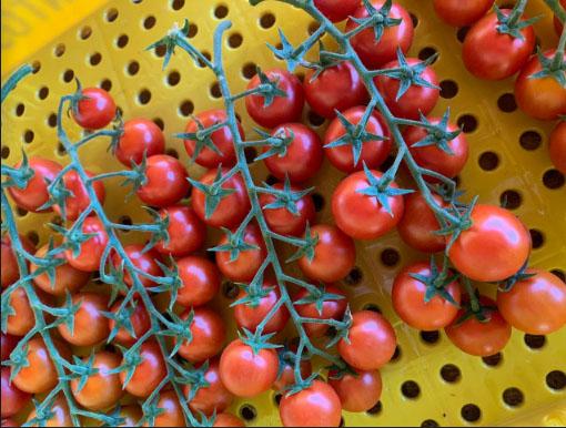 Tomate tipo grape: Alta tecnologia leva vantagens à produção